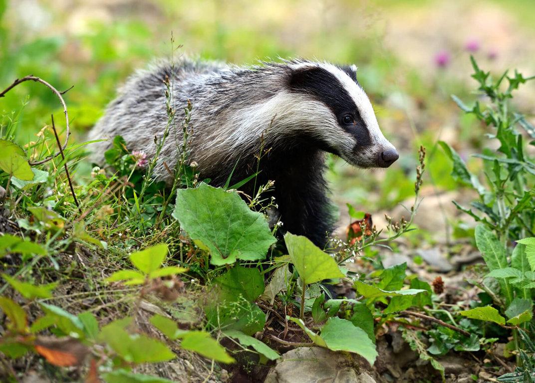 Badger Culls