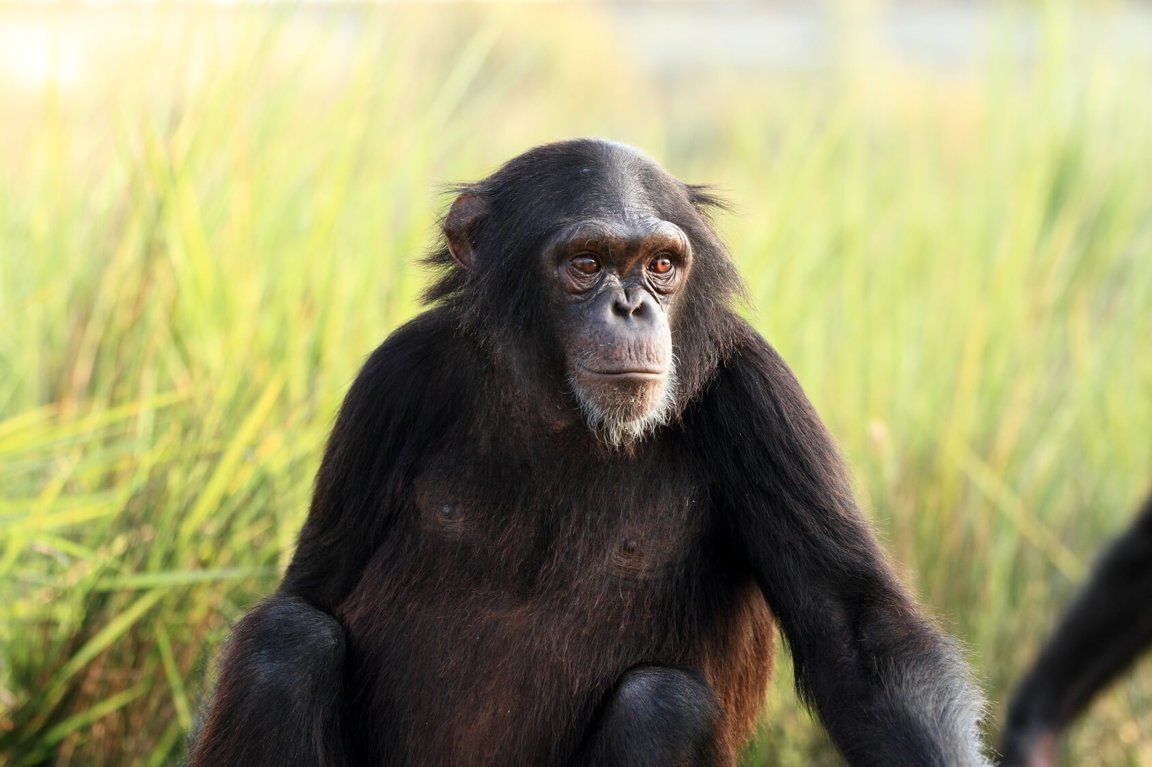 Chimpanzees Threatened