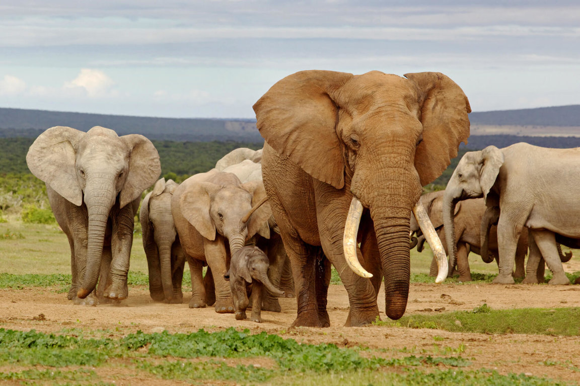 Elephant Poaching