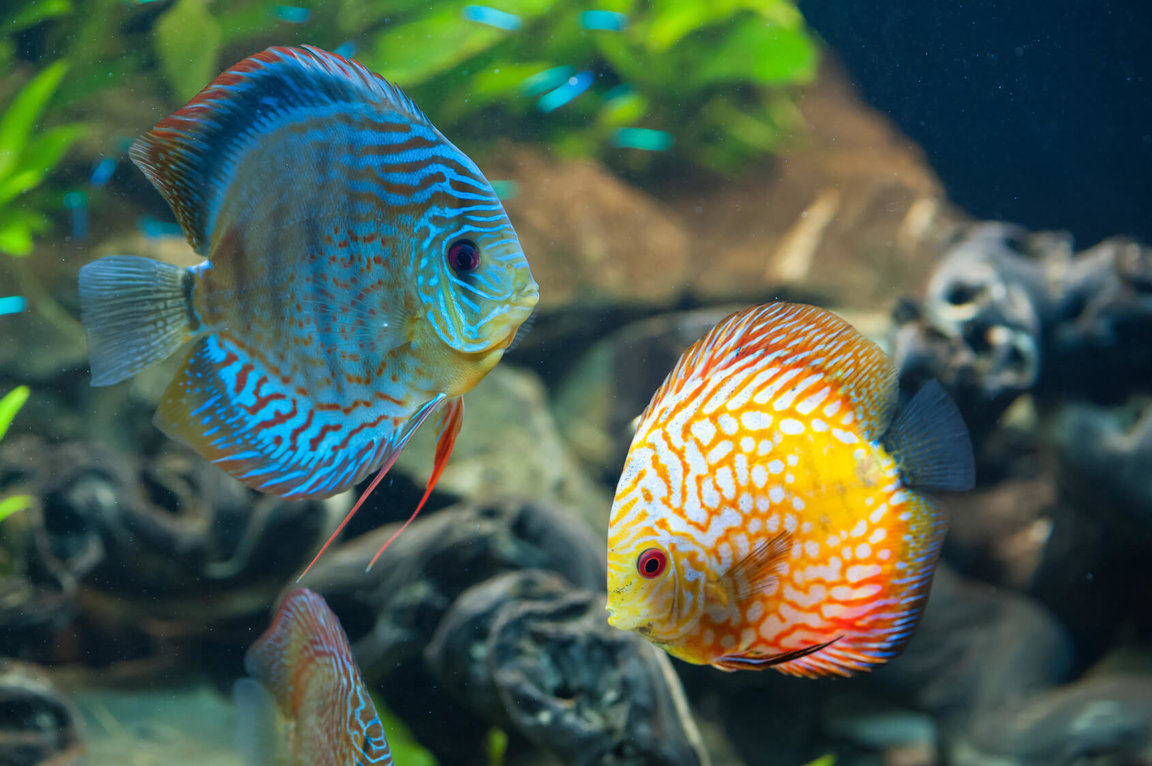 Fish Pet Trade Cyanide Use