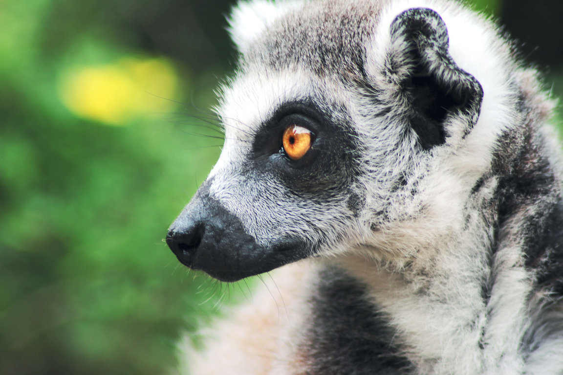 Lemurs In Trouble