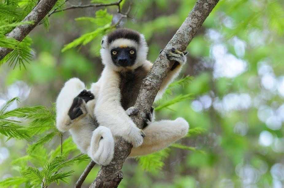 Threats To Lemurs