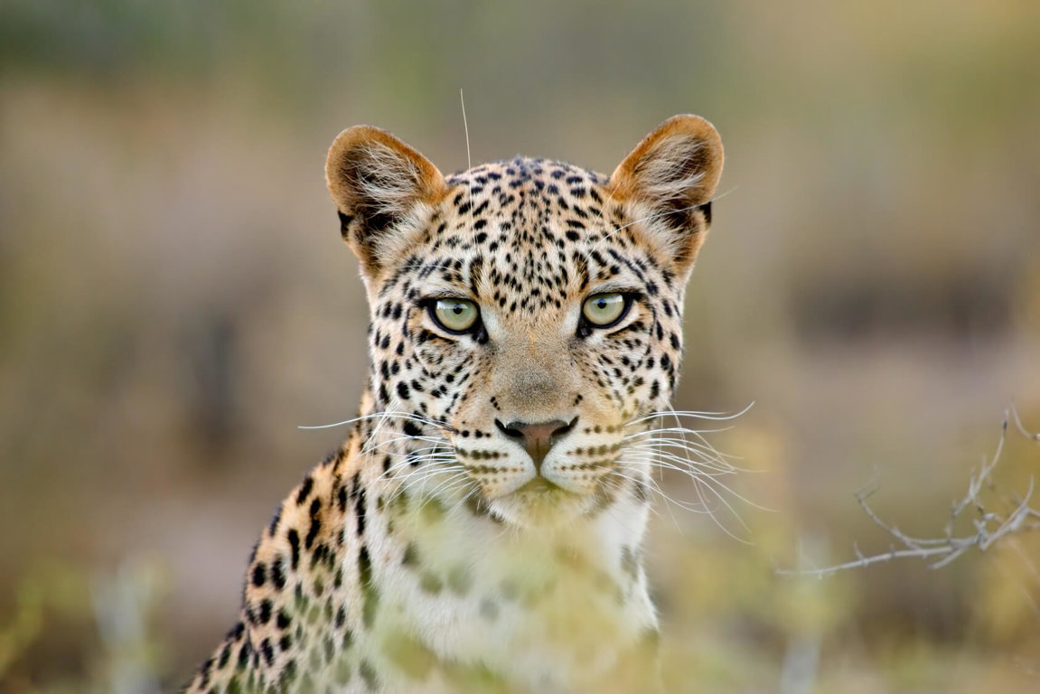 Leopards Vanishing