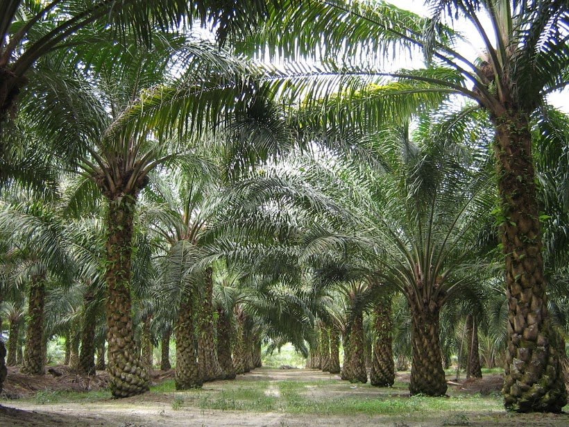 Palm Oil Threats