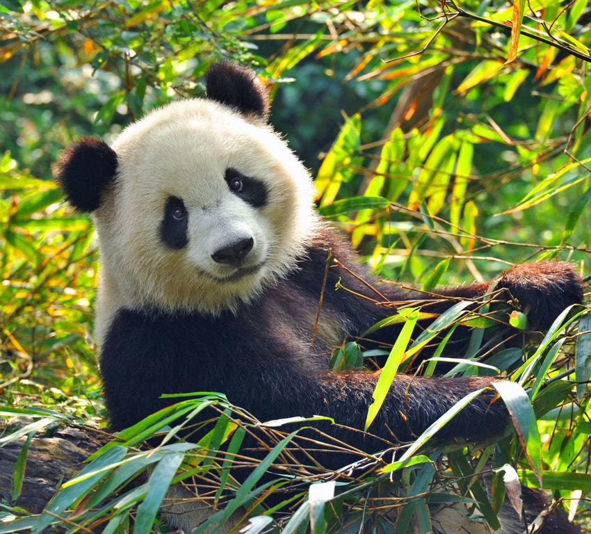 Pandas In Peril