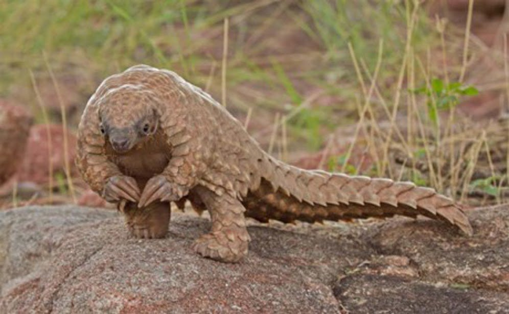 Pangolins Most Trafficked Mammal