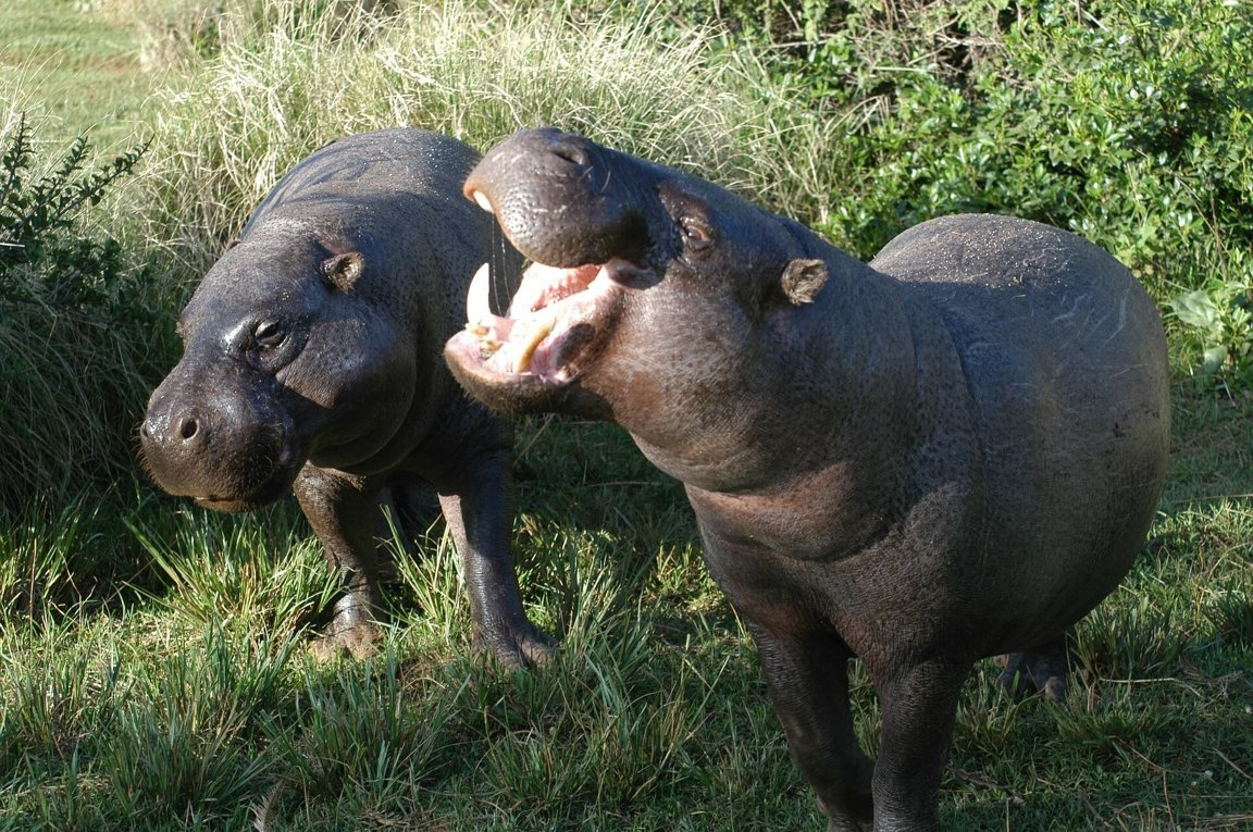 Pygmy Hippopotamuses