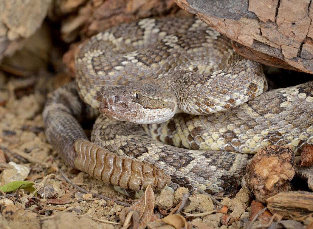Rattlesnake Roundups
