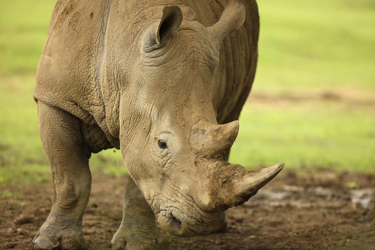 Rhinoceroses Mammals Animal Encyclopedia