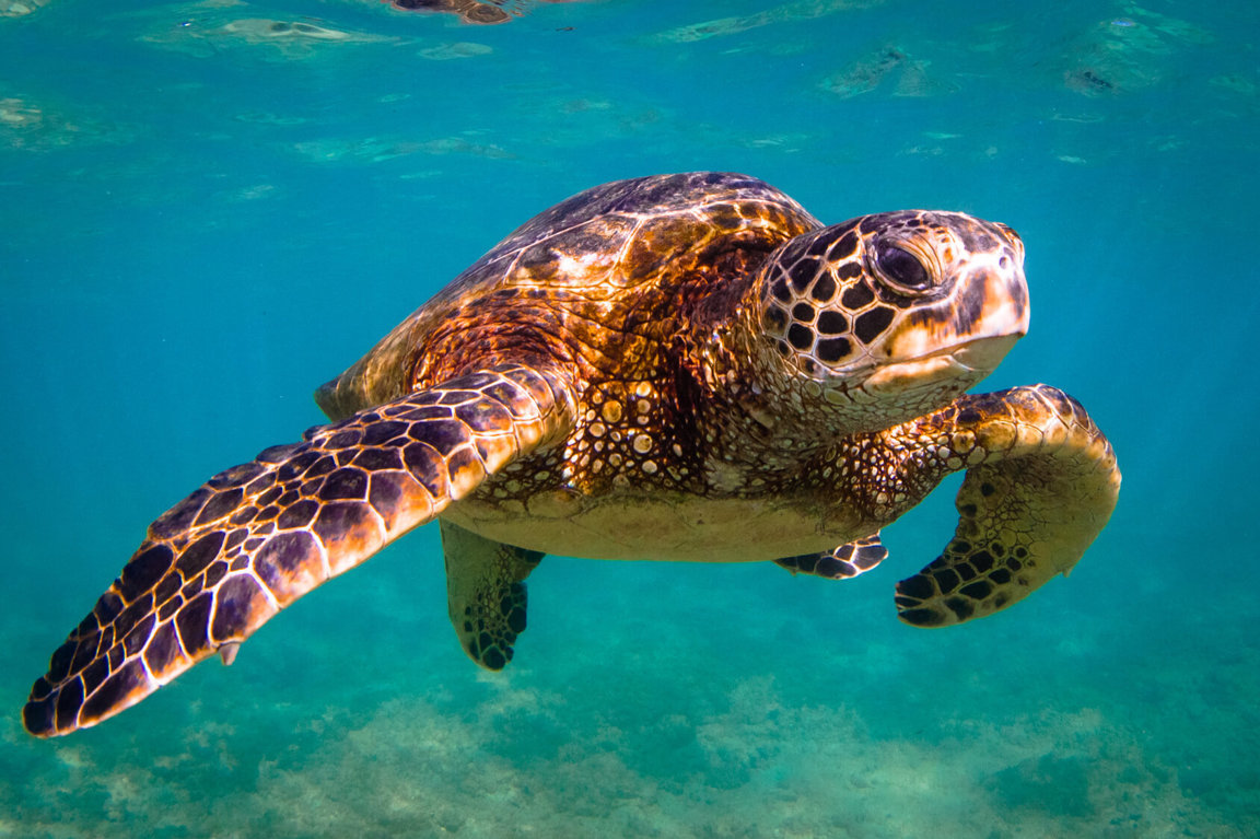 Sea Turtles Endangered