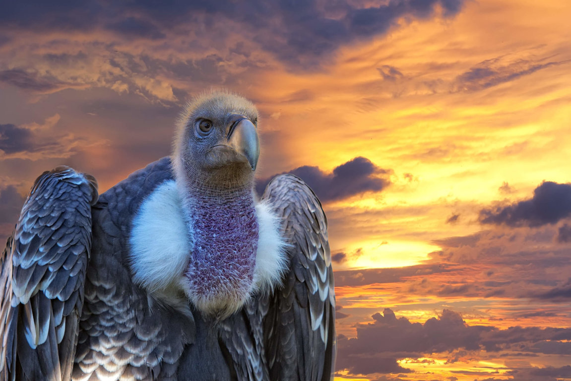 Vultures At Risk