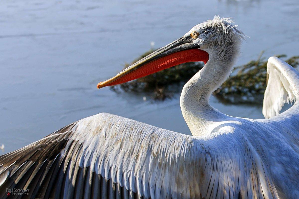 Pelicans Birds Animal Encyclopedia