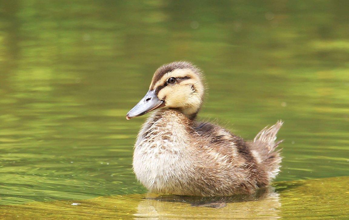 Help Ducks