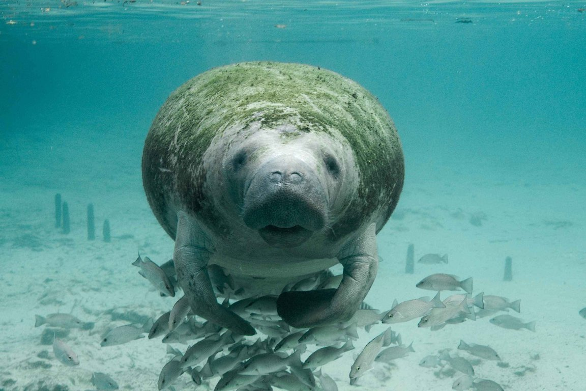 Manatees Fight To Survive