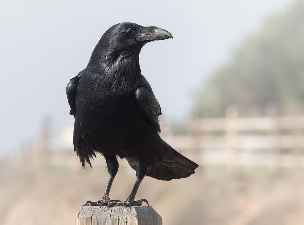 Ravens Birds Animal Encyclopedia
