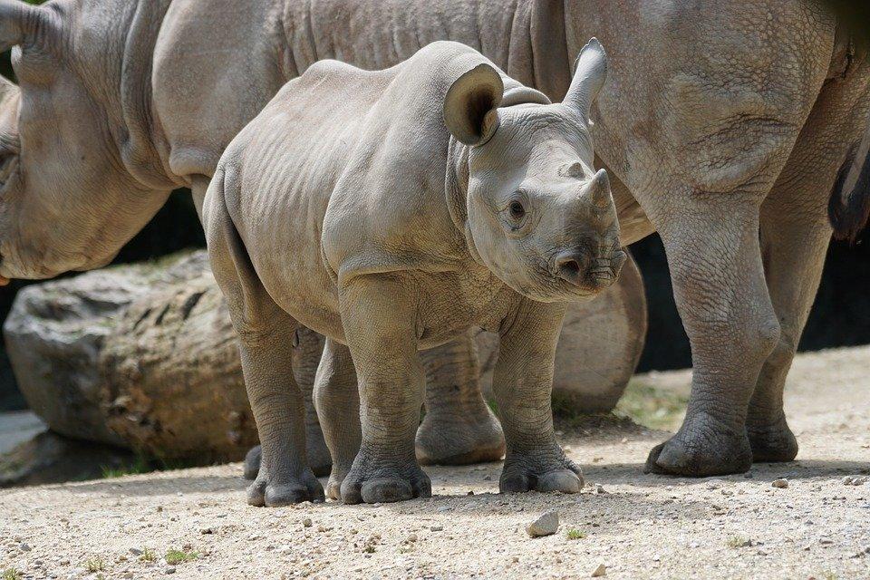 Rhinos: Ancient Animals At Risk
