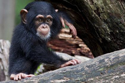 Chimpanzee Fight To Survive