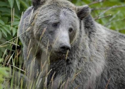 Bears Threatened