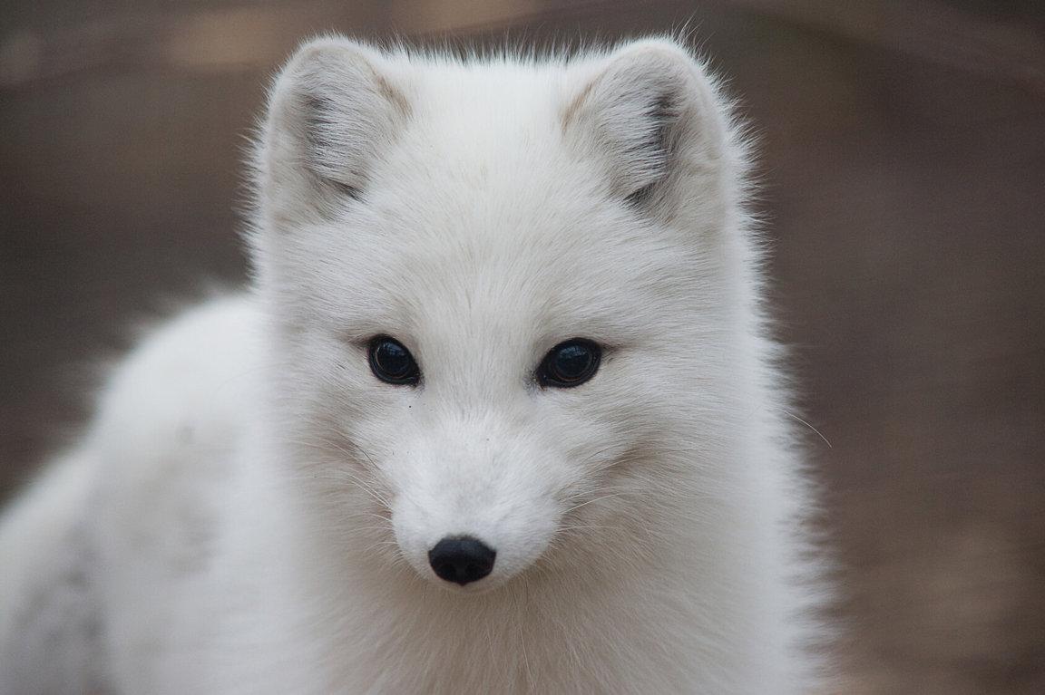 Arctic_Fox3.jpg