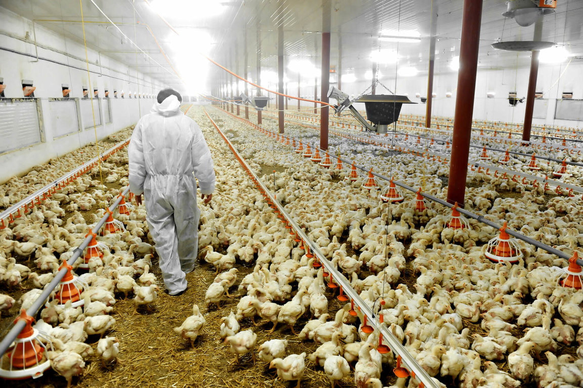 guidelines to poultry farming In factory farms chicken are given routine antibiotics to prevent diseases that are caused by their unsanitary conditions here at countrypoultry we take animal welfare very seriously and we make sure our poultry is produced to highest standard.
