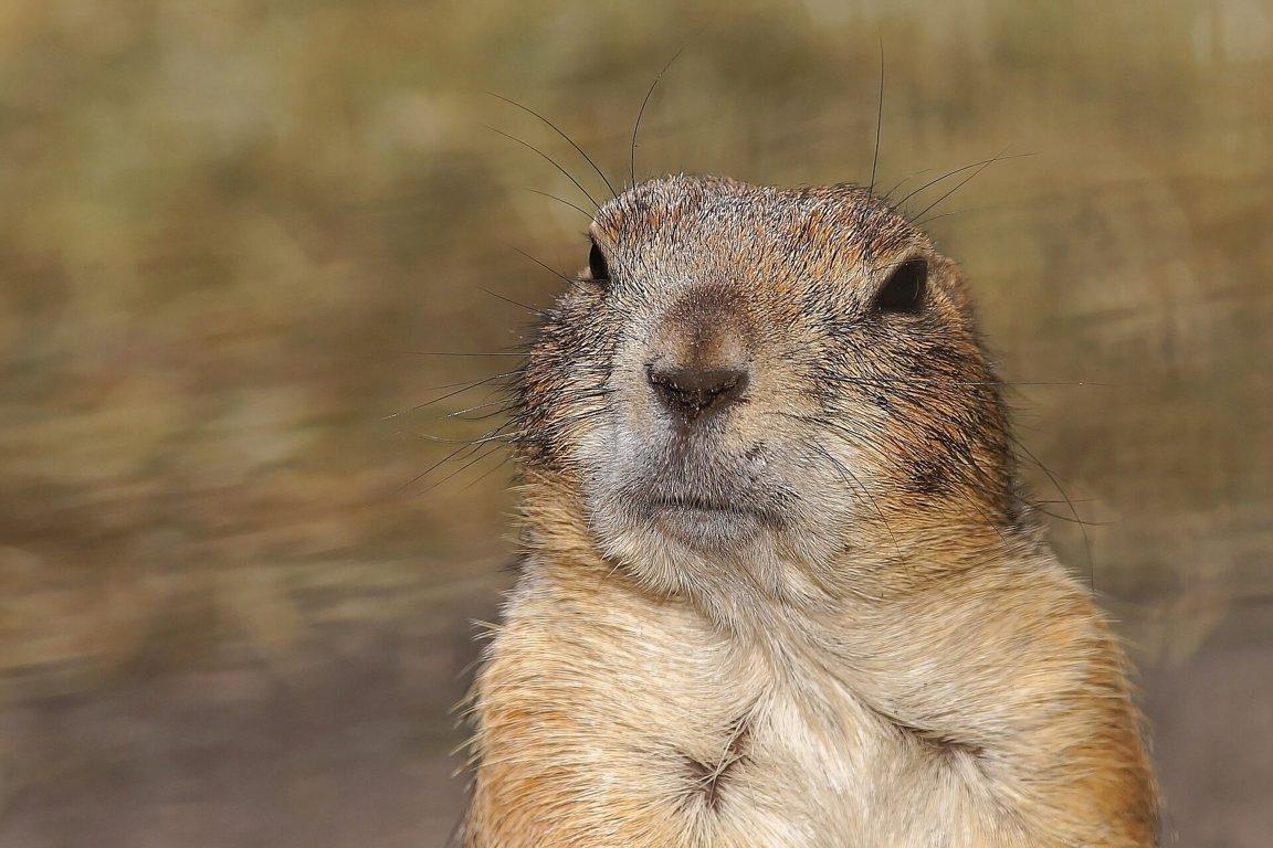 Gophers - Wild Animals News & ...