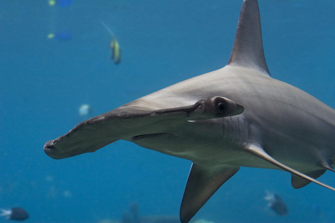 Wild Animals News & Facts by World Animal Foundation - Hammerhead Sharks