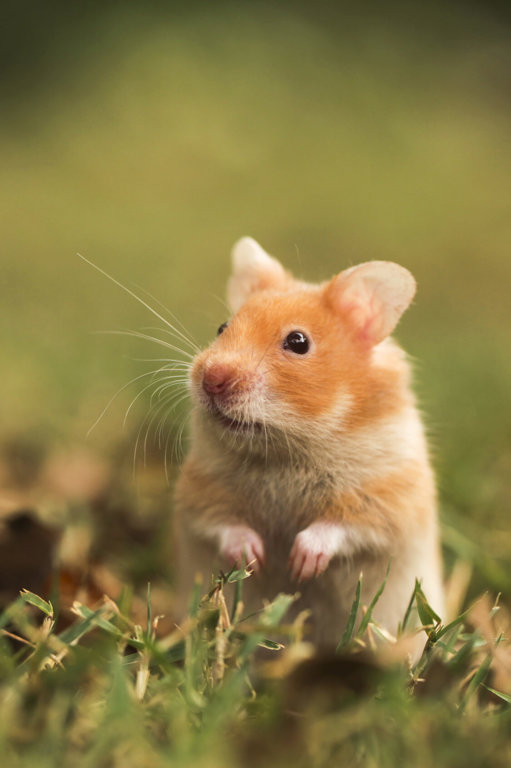 Hamsters Companion Animals News Amp Facts By World Animal