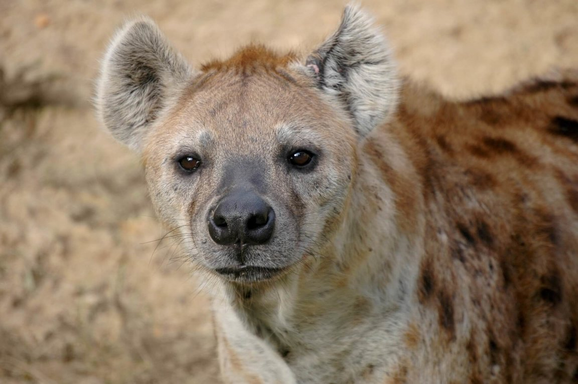 Image of: Kruger Adopt Hyena World Animal Foundation Hyenas Wild Animals News Facts By World Animal Foundation