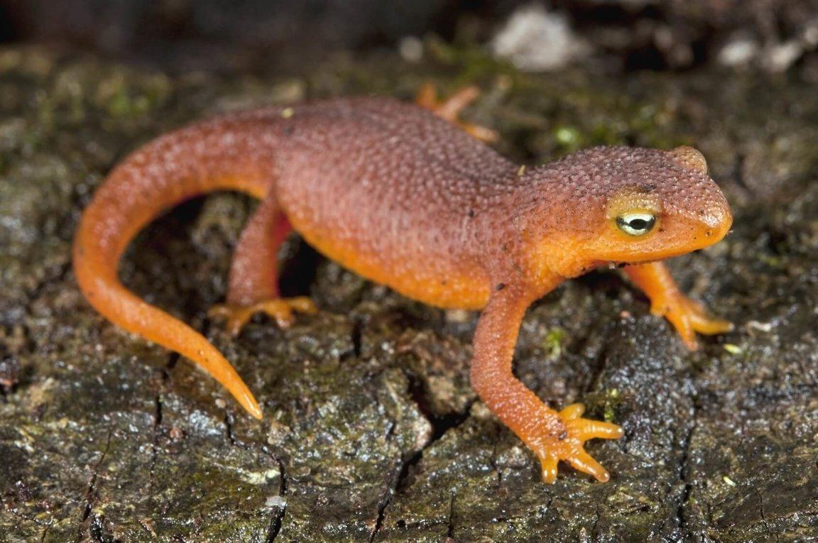 Newts Wild Animals News Facts By World Animal Foundation