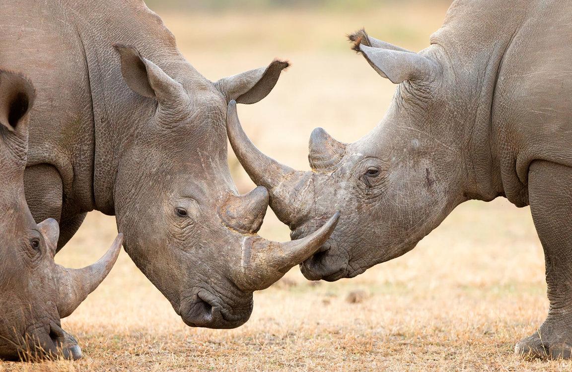 Rhinoceroses Wild Animals News Facts By World Animal Foundation