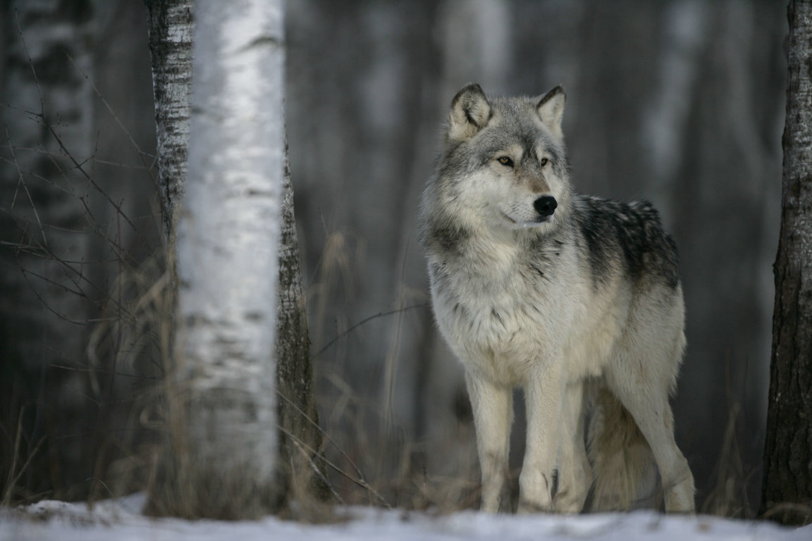 wolves wild animals wolf animal adopt facts