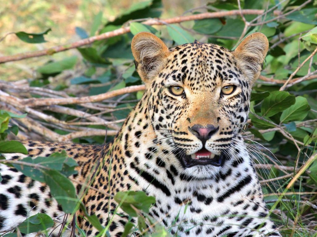 leopards have lost 75 of their range wild earth news facts by