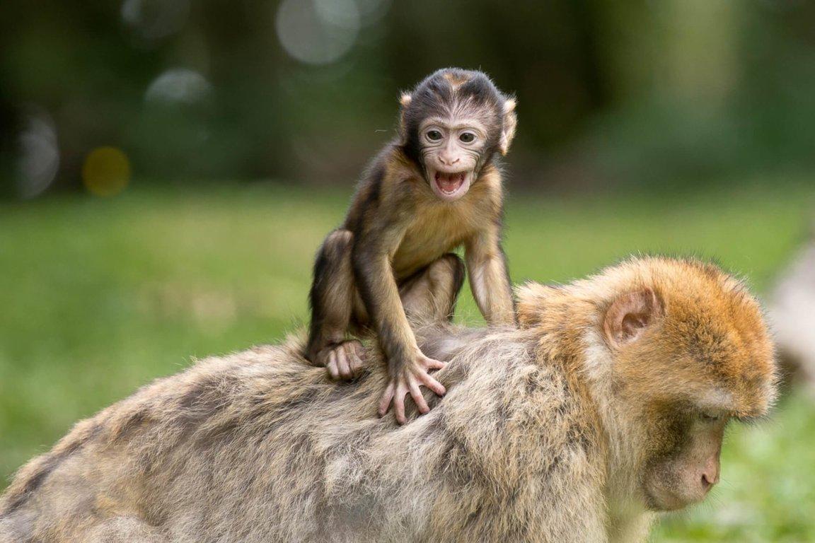 Monkeys - Wild Animals News & Facts by World Animal Foundation
