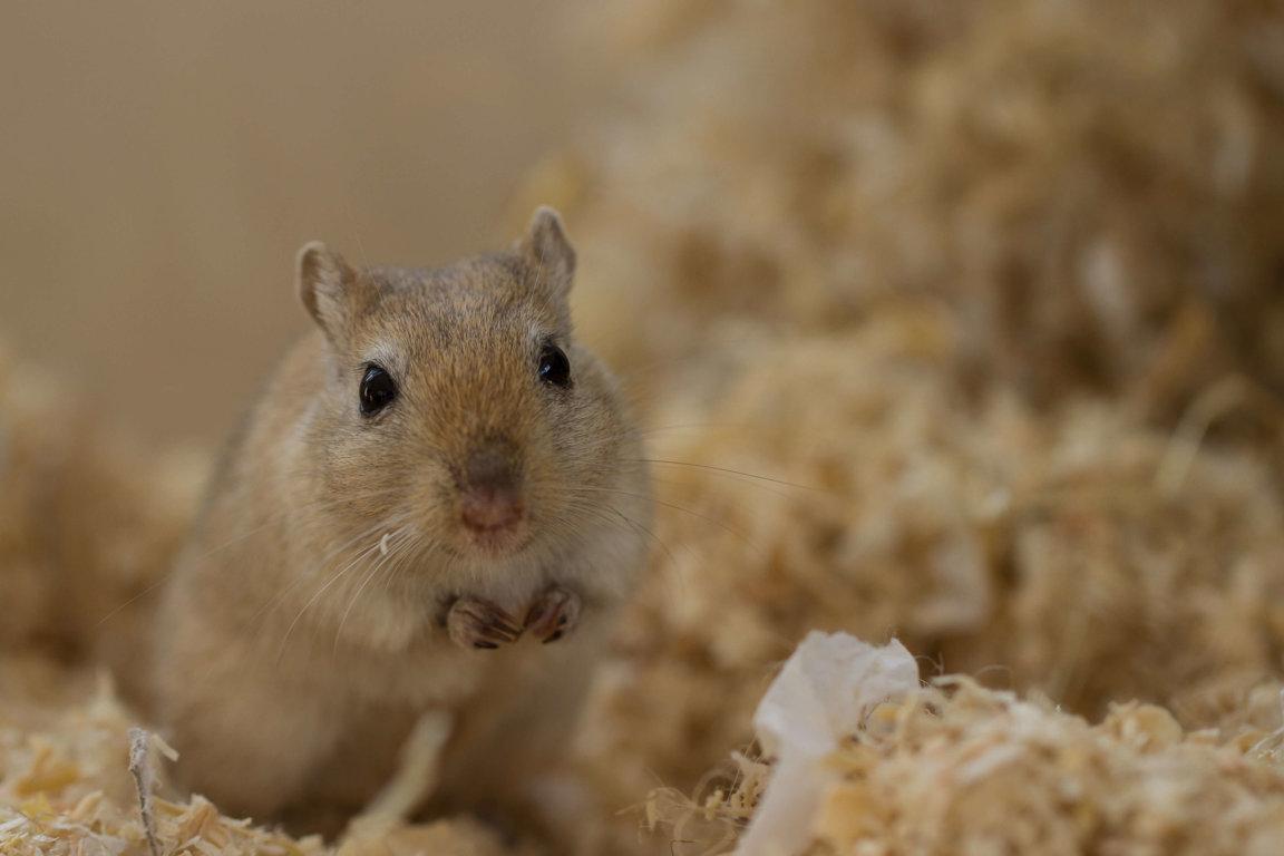 Gerbils - Companion Animals News & Facts by World Animal