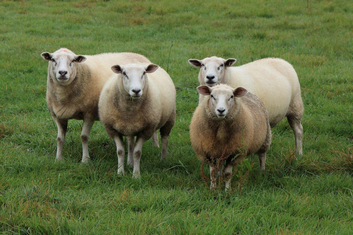 Farm animals facts news by world animal foundation - Photos de moutons gratuites ...