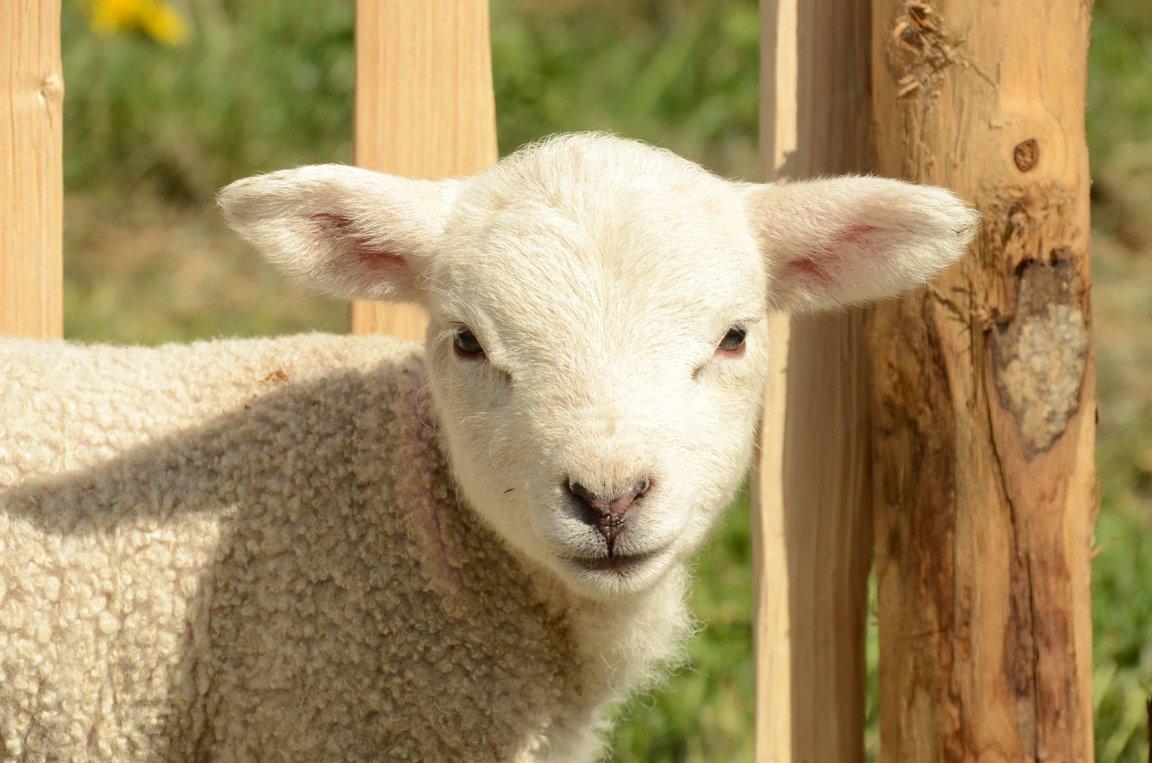 sheep u0026 goats facts by world animal foundation